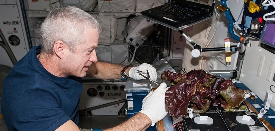 NASA astronaut Steve Swanson, Expedition 40 commander, harvests a crop of red romaine lettuce plants in the International Space Station's Harmony node that were grown from seed inside the Veggie facility, a low-cost plant growth chamber that uses a flat-panel light bank for plant growth and crew observation. (Credit: NASA/Alex Gerst)