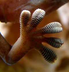 JPL researchers were inspired by gecko feet, such as the one shown here, in designing a gripping system for space. Just as a gecko's foot has tiny adhesive hairs, the JPL devices have small structures that work in similar ways. (Credit: Wikimedia Commons)